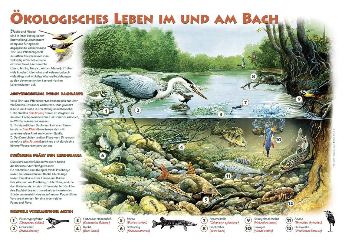Ökologisches Leben im und am Bach   DAFV Shop
